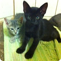 Domestic Shorthair Kitten for adoption in Austin, Texas - Giggle