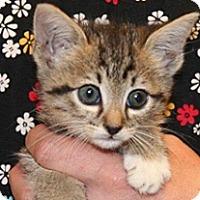Domestic Shorthair Kitten for adoption in Wildomar, California - Josephina