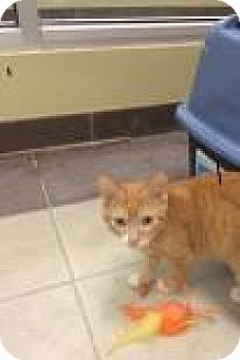 Domestic Shorthair Cat for adoption in Columbus, Georgia - Easton 4779