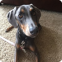Doberman Pinscher Dog for adoption in New Richmond, Ohio - Belle