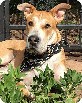 Shar Pei/Labrador Retriever Mix Dog for adoption in San Diego, California - Sharpie - Adopted!