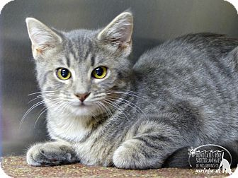 Domestic Shorthair Cat for adoption in Marlinton, West Virginia - Terry