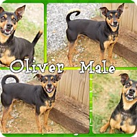 Basenji/Terrier (Unknown Type, Medium) Mix Dog for adoption in Beacon, New York - Oliver (reduced fee)