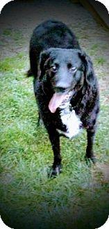 Labrador Retriever/Poodle (Standard) Mix Dog for adoption in Akron, Ohio - Maverick