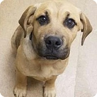 Adopt A Pet :: Boone #162504 - Apple Valley, CA