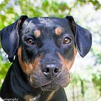 Adopt A Pet :: Nancy - Jacksonville, NC