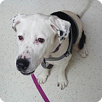 Adopt A Pet :: Chloe - Springfield, MO