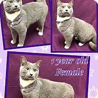 Adopt A Pet :: LAVENDER - Lexington, NC
