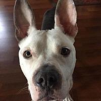 Adopt A Pet :: Champion - Voorhees, NJ