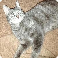 American Shorthair Cat for adoption in Greensburg, Pennsylvania - Callie