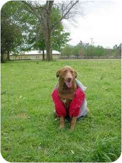 Labrador Retriever Mix Dog for adoption in Carthage, Texas - Sam