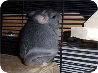 Chinchilla for adoption in Virginia Beach, Virginia - Pipsqueak