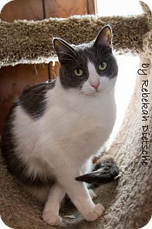 Domestic Shorthair Cat for adoption in Byron Center, Michigan - Jaycie