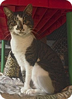 American Shorthair Cat for adoption in Hyde Park, New York - George