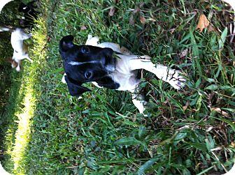 Boston Terrier/Dachshund Mix Puppy for adoption in Milton, Georgia