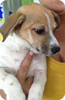 Sandy | Adopted Puppy | Pennigton, NJ | Jack Russell ...