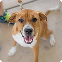 Adopt A Pet :: Dutchess - San Antonio, TX