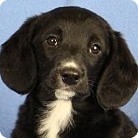 Adopt A Pet :: Zoa - Minneapolis, MN