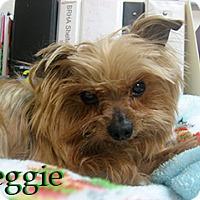 Adopt A Pet :: Reggie - Hamilton, MT