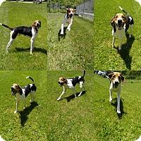 Adopt A Pet :: 1-7 Boomer - Triadelphia, WV