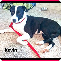 Boxer/Labrador Retriever Mix Dog for adoption in Malvern, Arkansas - KEVIN