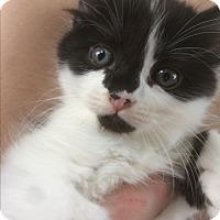 Adopt A Pet :: Audrey Hepburn - Burlington, ON