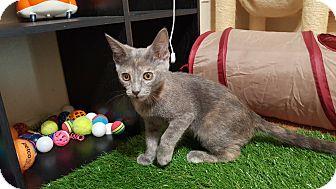 Domestic Shorthair Kitten for adoption in Yuma, Arizona - Emee