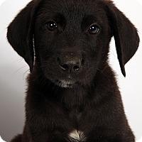 Adopt A Pet :: Shane Labmix - St. Louis, MO