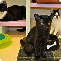 Adopt A Pet :: Dragon - Westbury, NY