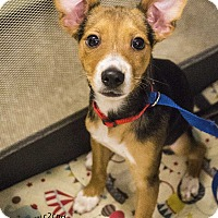 Rat Terrier Mix Puppy for adoption in Mooresville, North Carolina - P. Diddy