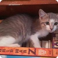 Domestic Shorthair Kitten for adoption in Tampa, Florida - Kiki