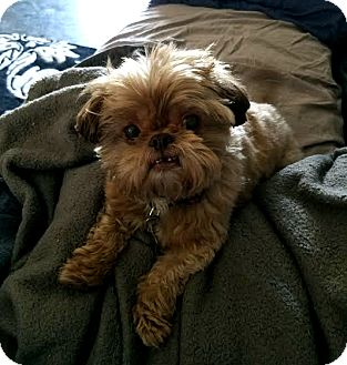 Shih Tzu Mix Dog for adoption in Detroit, Michigan - Hershey-Adopted!