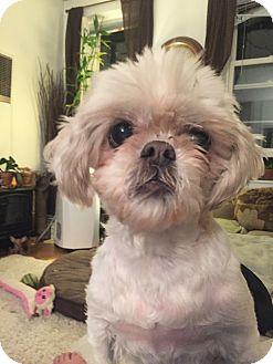 Shih Tzu Dog for adoption in Parsippany, New Jersey - Daisy