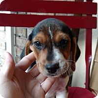 Adopt A Pet :: Diesel - Tampa, FL
