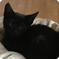 Burmese Kitten for adoption in Cerritos, California - Olive