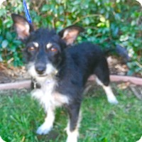 Terrier (Unknown Type, Small)/Schnauzer (Miniature) Mix Dog for adoption in Santa Monica, California - LULU