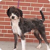 Adopt A Pet :: Fizzgig - Flushing, MI