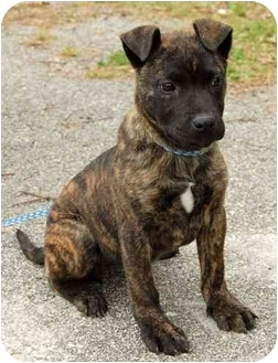 ...   Adopted Puppy   Inman, SC   Catahoula Leopard Dog/Mountain Cur Mix