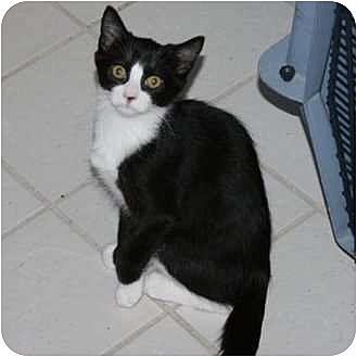 Domestic Shorthair Kitten for adoption in Brodheadsville, Pennsylvania - Skittles