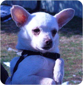 Chihuahua Mix Dog for adoption in Metamora, Indiana - Bullet