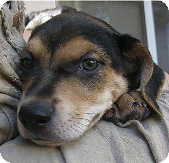 Beagle/Miniature Pinscher Mix Puppy for adoption in Phoenix, Arizona - Brodie