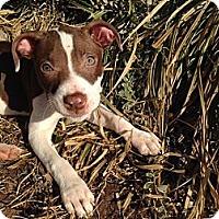 Adopt A Pet :: Ginger - Sinking Spring, PA