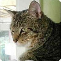 Adopt A Pet :: Tiger - Portland, OR