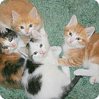 Adopt A Pet :: Irish Kittens - Arlington, VA