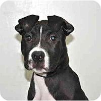 Adopt A Pet :: Champ - Port Washington, NY