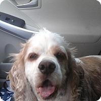 Adopt A Pet :: Rocky 2 - Phoenix, AZ