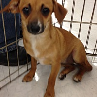 Chihuahua/Dachshund Mix Puppy for adoption in Inverness, Florida - Lightening