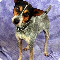 Adopt A Pet :: Trixie Heeler - St. Louis, MO