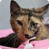 Adopt A Pet :: Isbella - Sarasota, FL