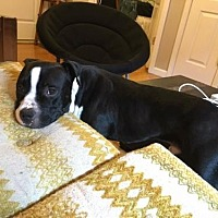 American Pit Bull Terrier Dog for adoption in Sayville, New York - Nayim
